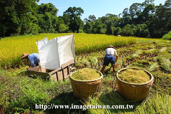 用稻谷的手工制作图片